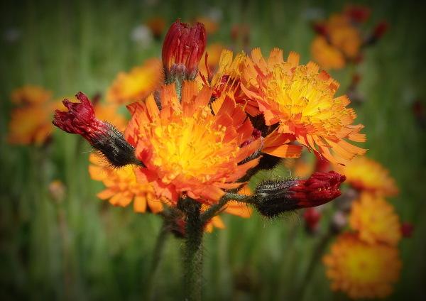 Fleurs de feu...