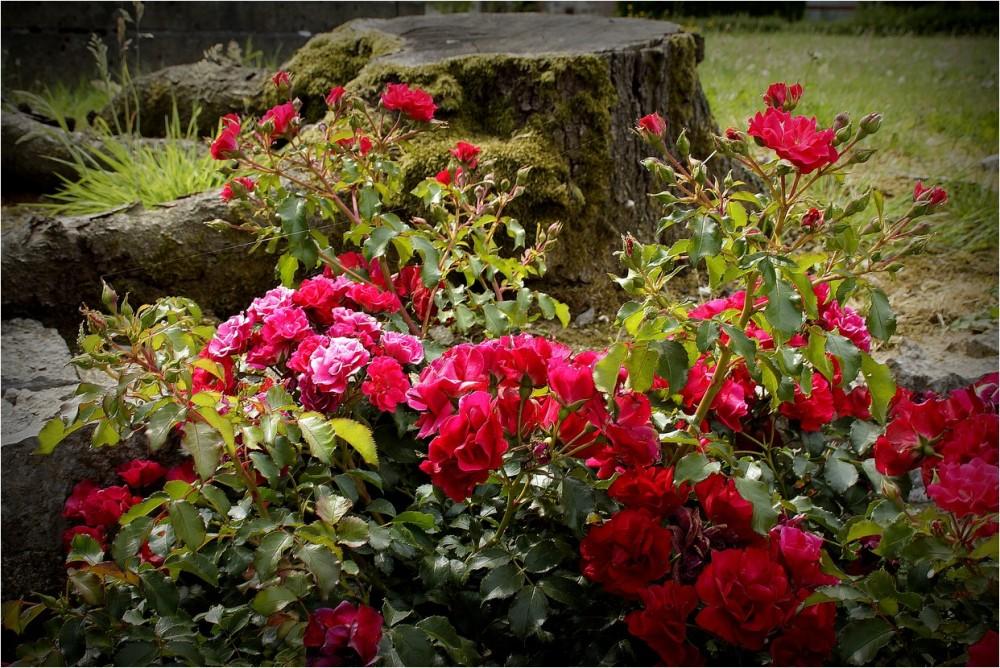 La souche et le rosier...