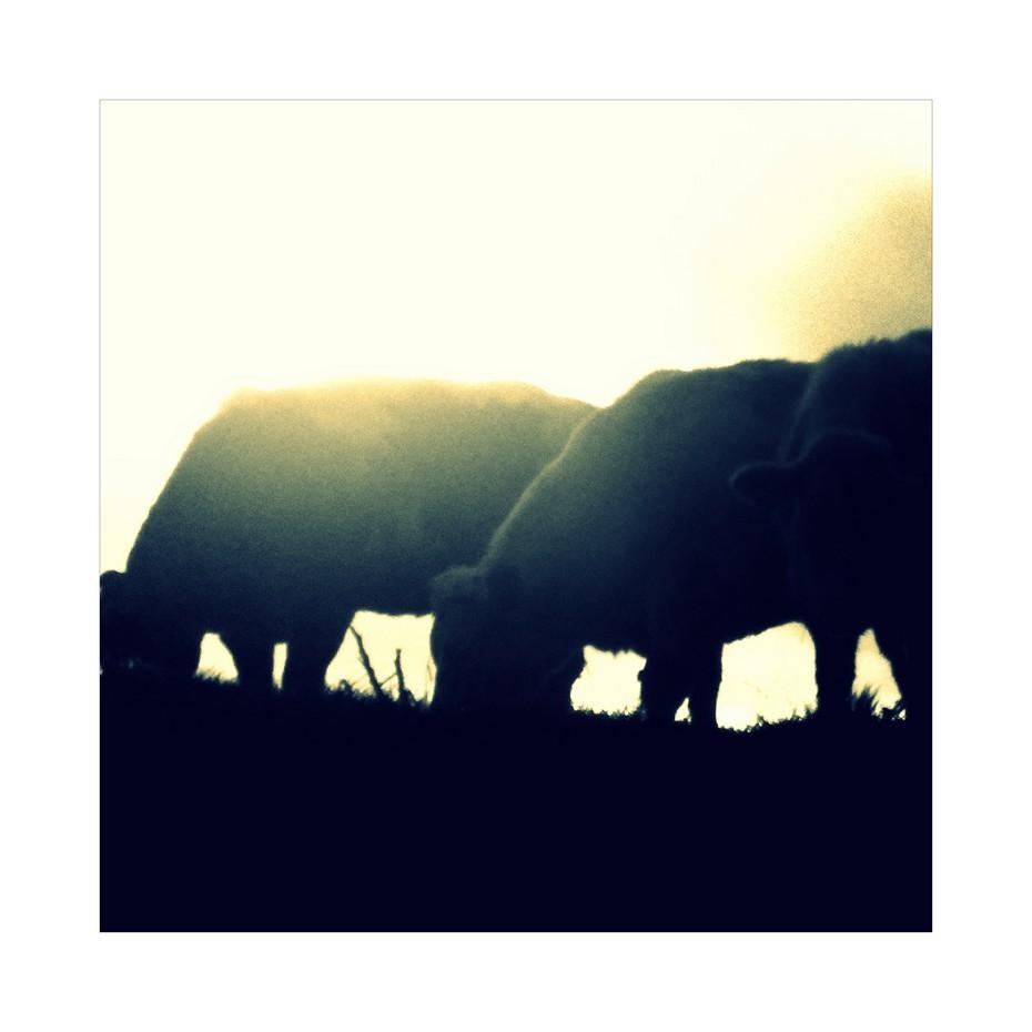 Original CoW...