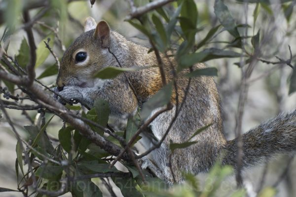 Squirrel in the everglades