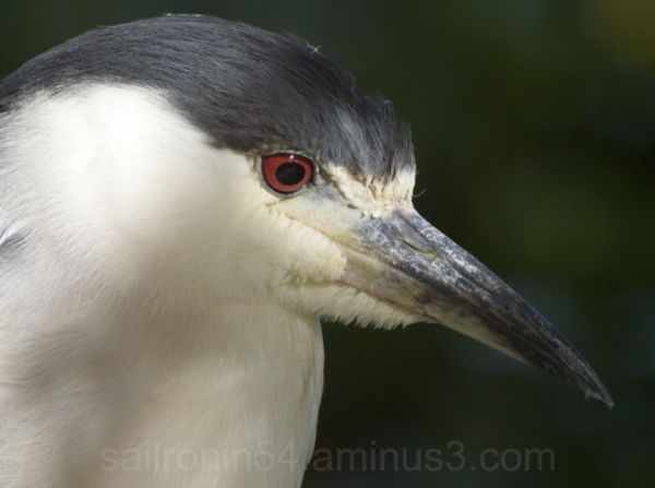 night heron right head shot