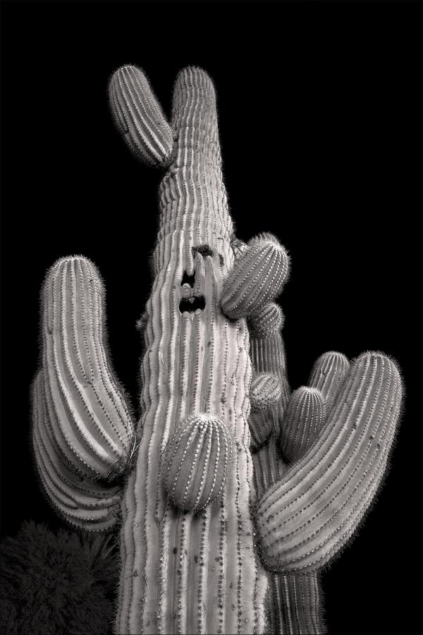 Old man saguaro...