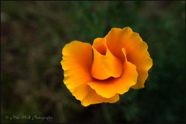 California Poppy bloom