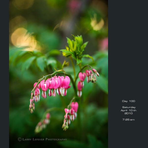 Closeup of Bleeding Hearts