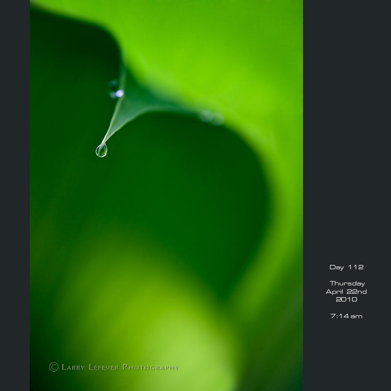 Hosta leaf from beneath with water drop.