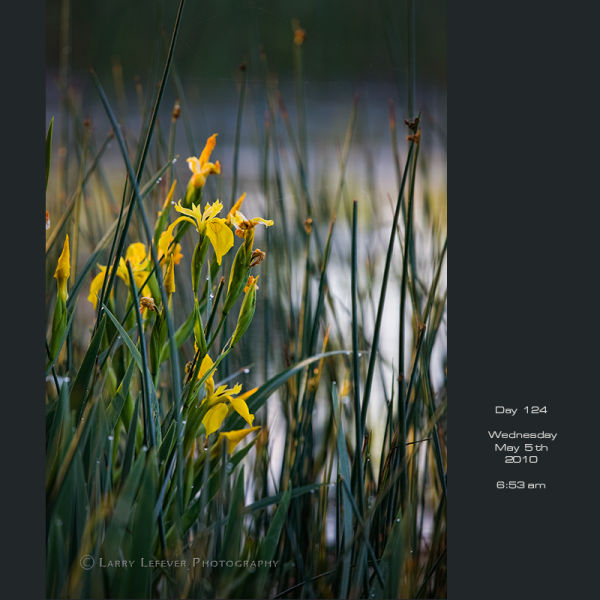 Yellow Iris in wetlands