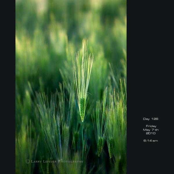 Barley closeup