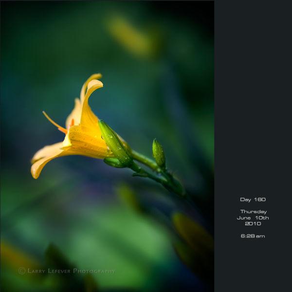 Closeup of daylily