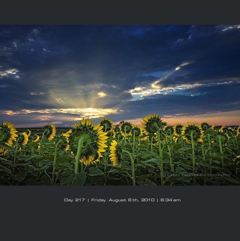Sunflower field at sunrise