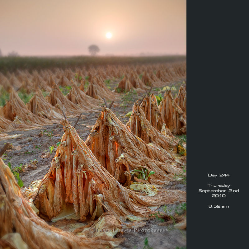 Curing tobacco at sunrise