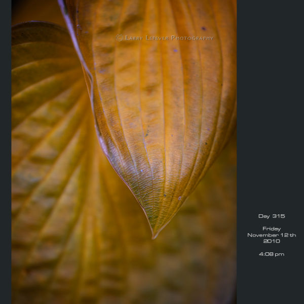 Closeup of hosta leaf