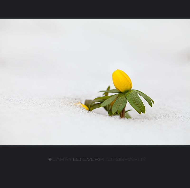 Winter aconite in snow