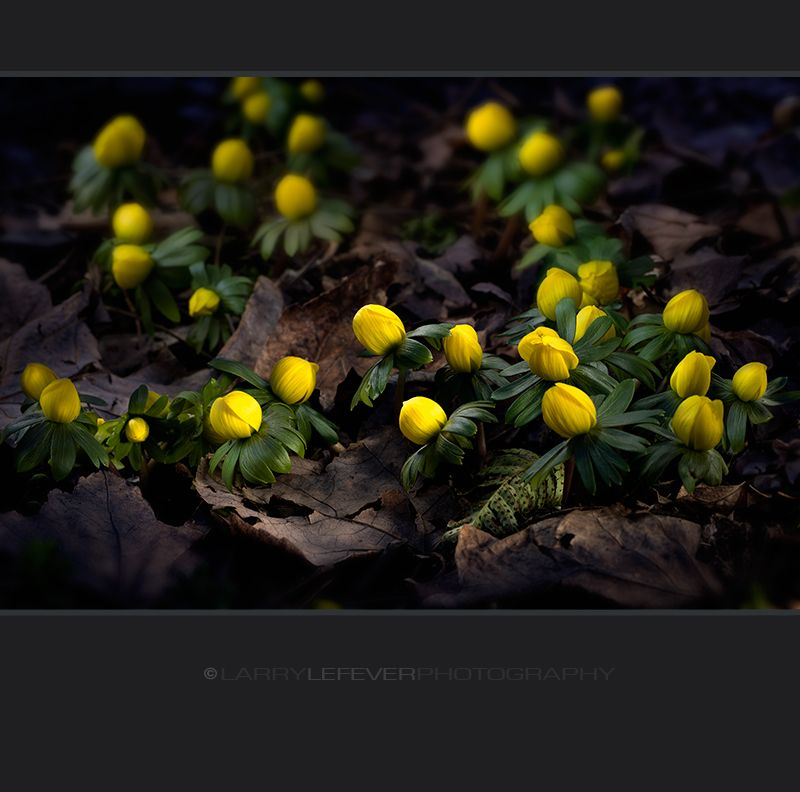 Winter aconite at night