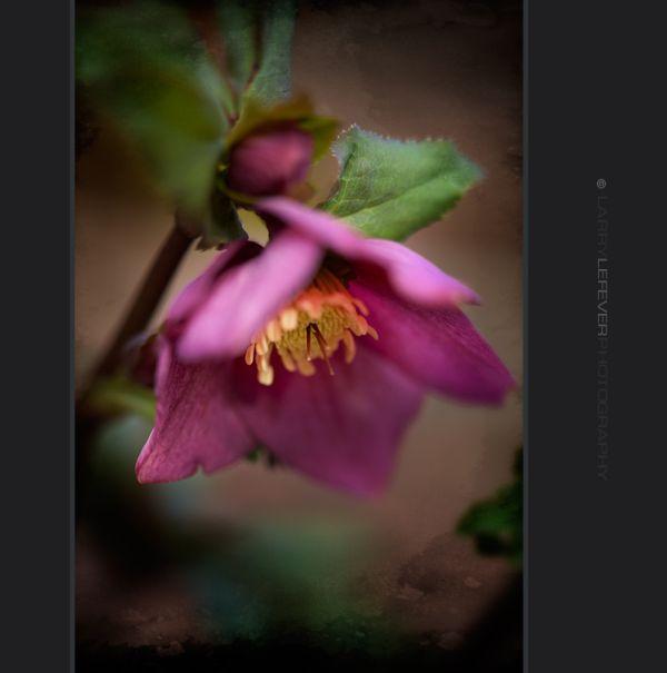 Lenten Rose in Bloom