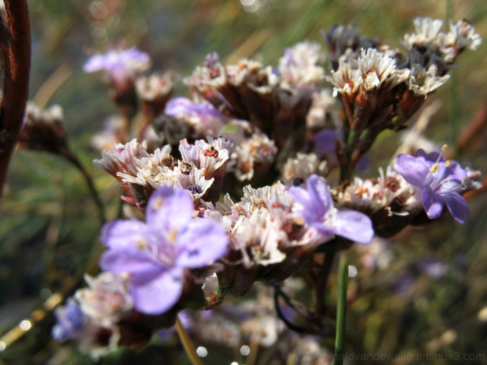 A coastal plant flower