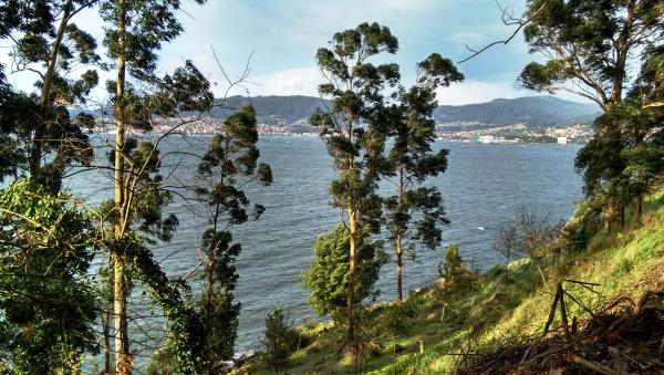 Eucalyptus on a windy day
