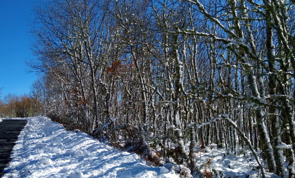 Snowy trees trunks