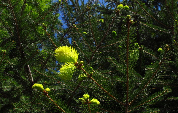 fir with new leafs