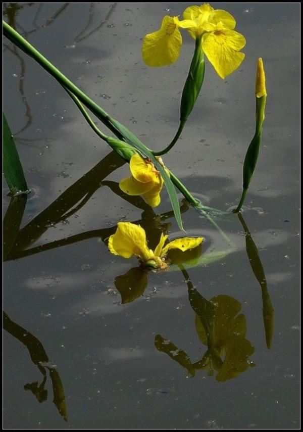 L'iris d'eau