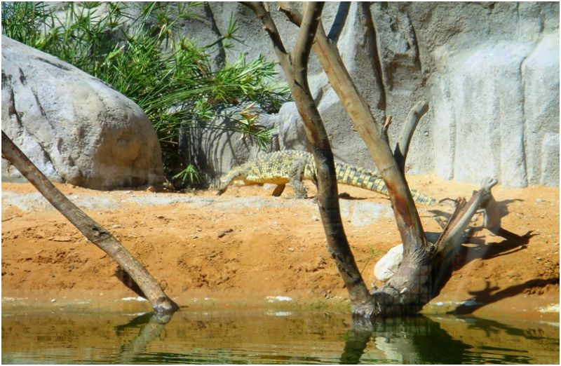 Crocodile at Al Ain Zoo
