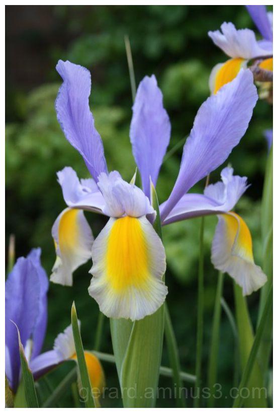 iris,bloem,flower
