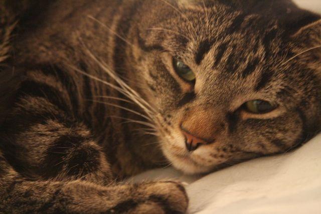 Sleepy Kitty (16/365)
