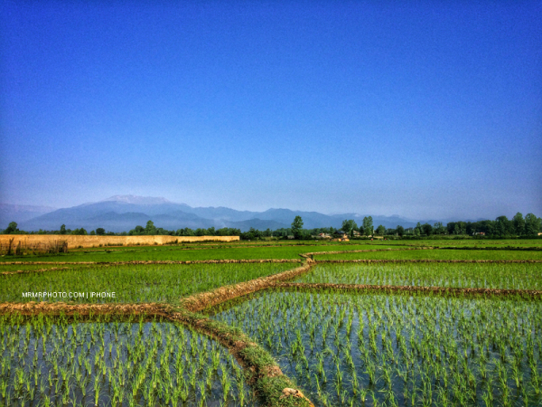 Paddy field in Gilan