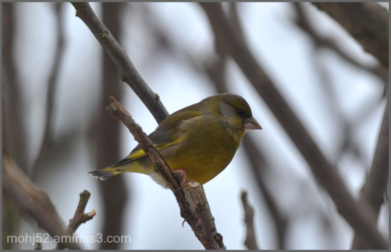 European Greenfinch, male, Mörbylånga, Öland