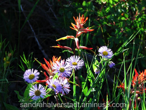 Indian Paintbrush Wildflowers