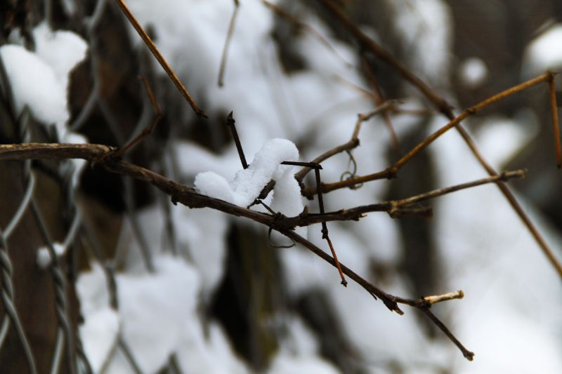 Snow Silkworm on a Branch