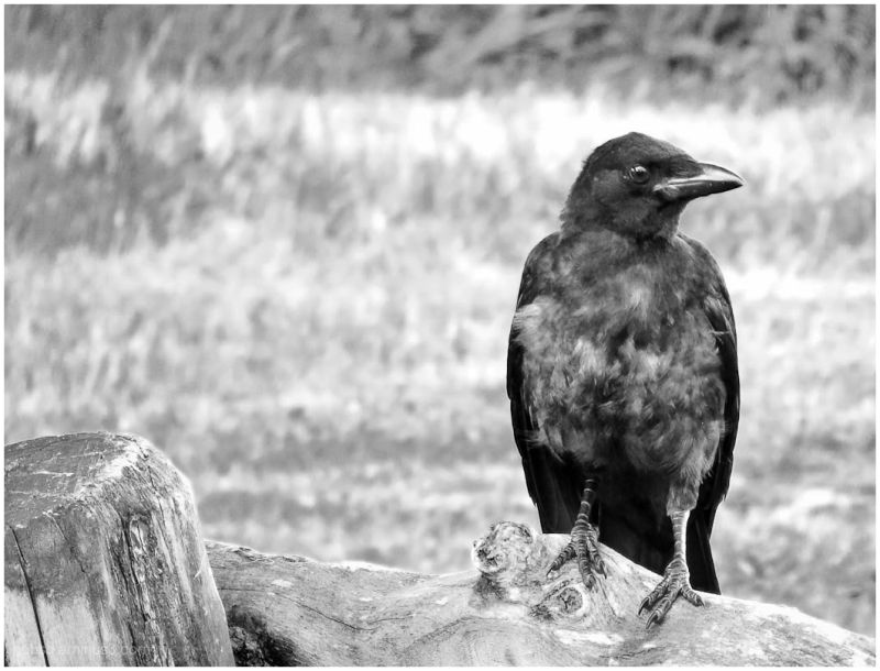 Same Crow in b&w