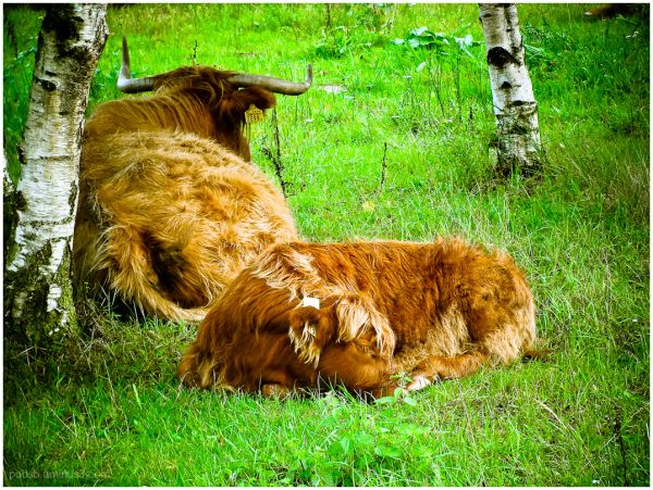 This cow sleeps like a dog