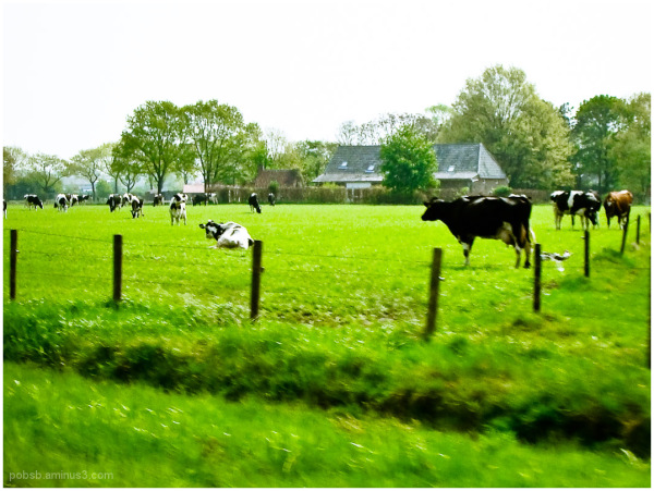 cows along the road 1