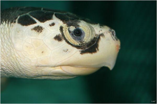 Miss Turtle