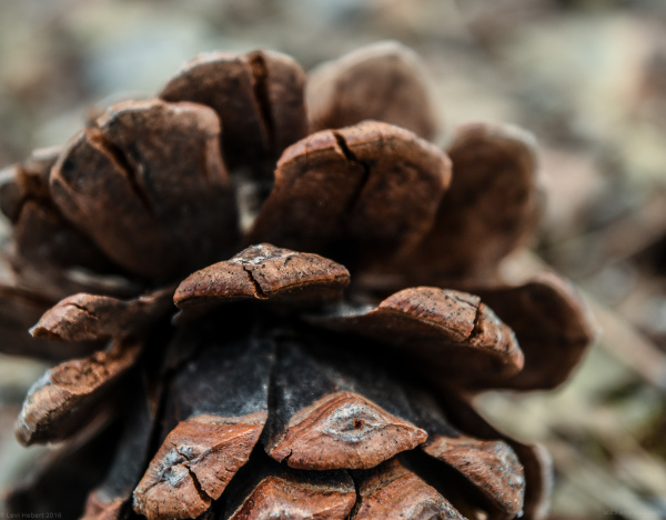 Closeup of a Pine-cone on a tail with some editing