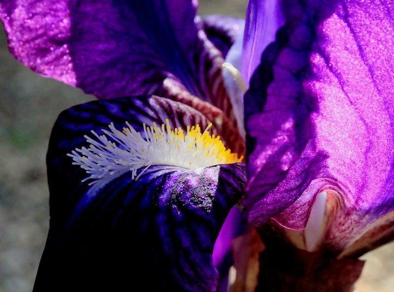 Iris A Flower !!!