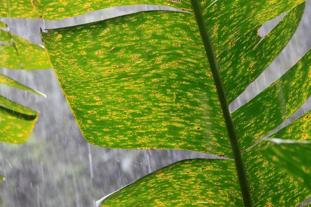 Parapluie Tropical. / Tropical Umbrella