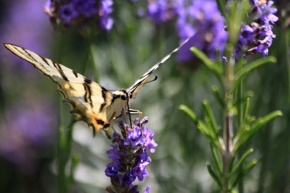 Papillon Aux Herbes De Provence .