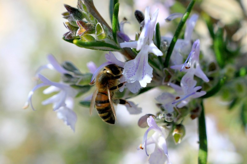 L'Abeille Et le Romarin / The Bee and The Rosemary