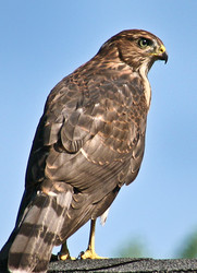 Coopers Hawk (Accipiter cooperii)