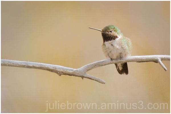 broad-tailed hummingbird at RMNP