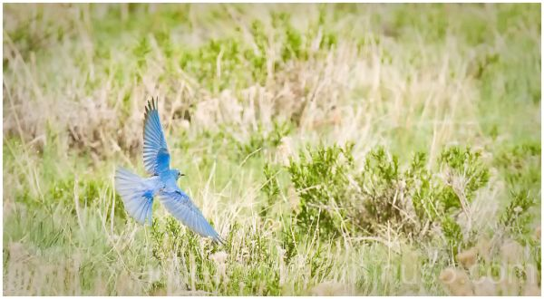 male mountain blue bird in flight RMNP