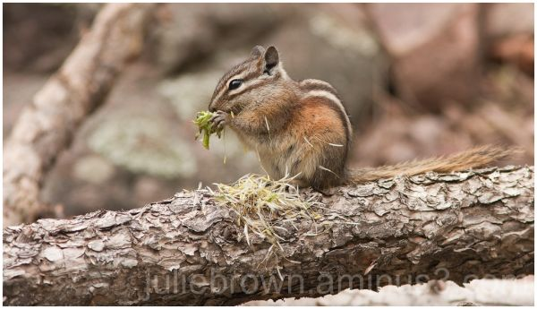 Chipmunk eating at Eldorado Canyon State Park