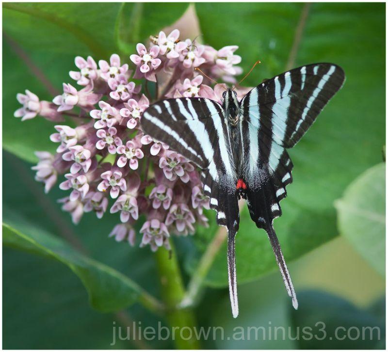 zebra swallowtail nectaring on milkweed