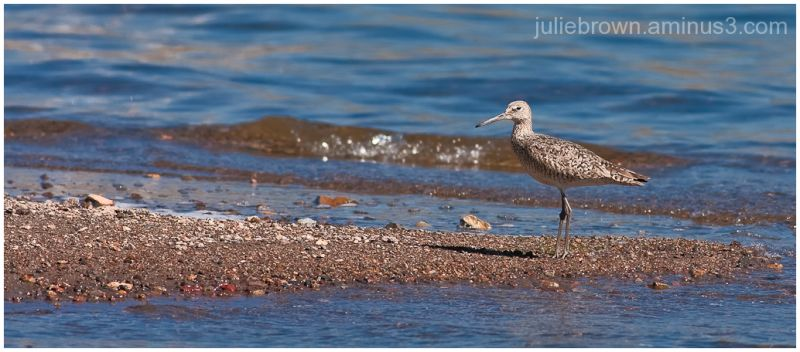 willet in breeding plumage at blue mesa reservoir
