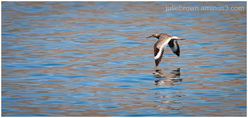 willet in flight at blue mesa reservoir colorado