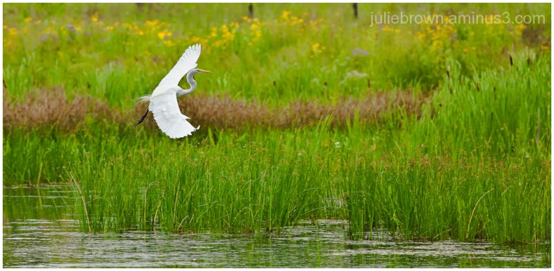 great egret in marsh grasses carmel indiana