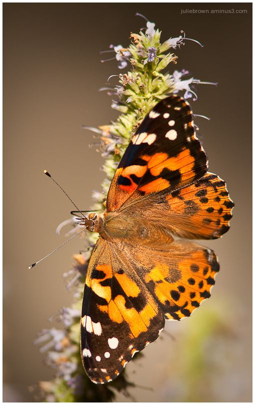 Painted Lady with open wings