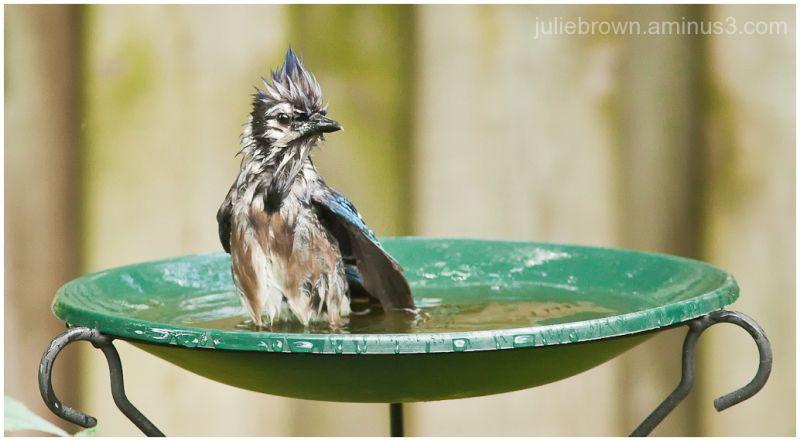 blue jay lord of the bird bath2