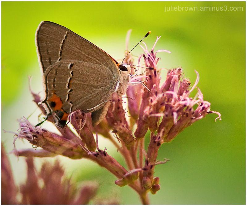 gray hairstreak backyard butterfly